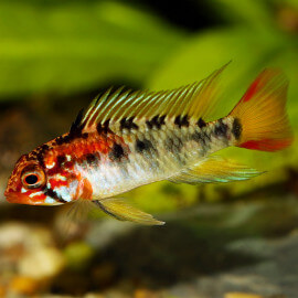 Apistogramma Macmasteri Red Mask XL LE COUPLE - Elevage Européen