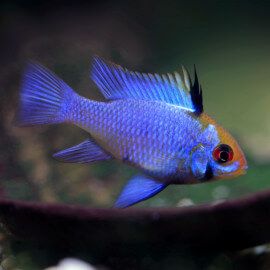 Mikrogeophagus ramirezi Blue Electric XL LE COUPLE - Elevage Européen