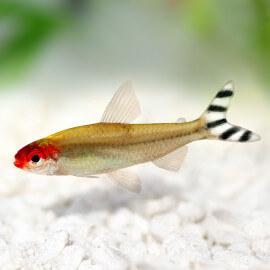Hemigrammus rhodostomus M-L - Nez Rouge (Elevage Européen)
