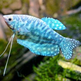 Trichogaster Trichopterus - Gourami Cosby M-L