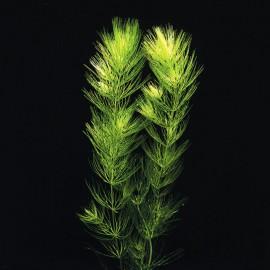 Ceratophyllum Demersum 1KG
