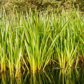 Acorus calamus - Acore odorant POT DE 9cm