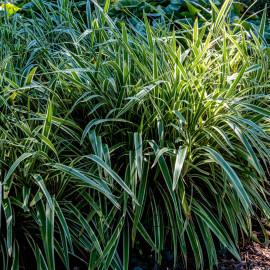 Acorus calamus 'Variegata' - Acore variegatus POT DE 9cm