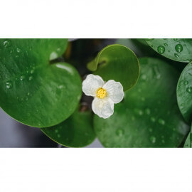 Alisma parviflora - Plantain parviflora POT DE 9cm