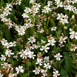 Anemopsis californica - Anemopsis de Californie POT DE 9cm