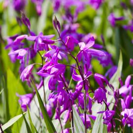 Bletilla striata - Orchidée jacinthe POT DE 9cm