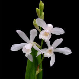 Bletilla striata Alba - Orchidée jacinthe blanche POT DE 9cm