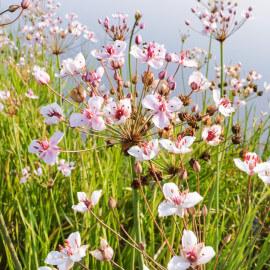 Butomus umballatus - Jonc fleuri POT DE 9cm