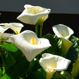 Calla palustris - Arum des marécages POT DE 9cm
