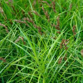 Carex muskingumensis - Laîche palmée POT DE 9cm