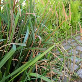 Carex pendula - Laîche pendante POT DE 9cm