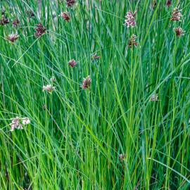 Cyperus longus - Souchet odorant POT DE 9cm