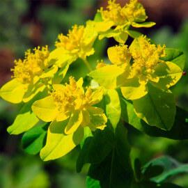 Euphorbia palustris - Euphorbe des marais POT DE 9cm