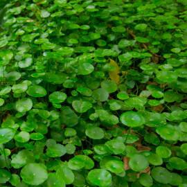 Hydrocotyle vulgaris - écuelle d'eau POT DE 9cm