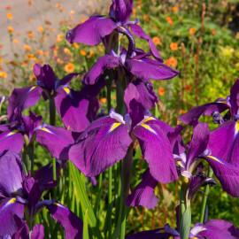 Iris kaempferi POT DE 9cm