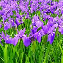 Iris laevigata POT DE 9cm