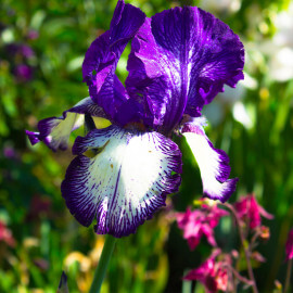 Iris laevigata 'Mottled Beauty' POT DE 9cm