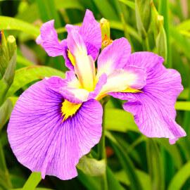 Iris laevigata 'Rose Queen' POT DE 9cm