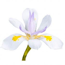 Iris laevigata 'Snowdrift' POT DE 9cm