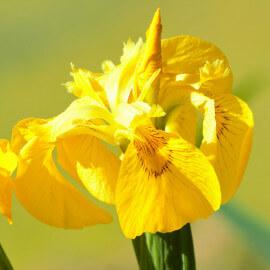 Iris pseudacorus 'Variegata' POT DE 9cm