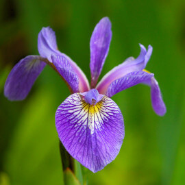 Iris versicolor POT DE 9cm