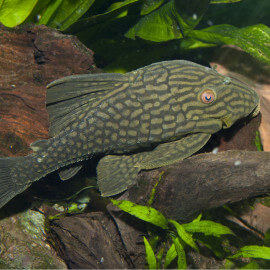 Panaque Titan L330 20-25cm (Sauvage - Colombie)