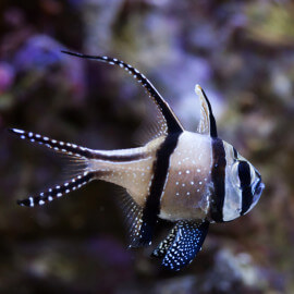 Pterapogon kauderni - poisson-cardinal de Banggai  M (Indonésie)