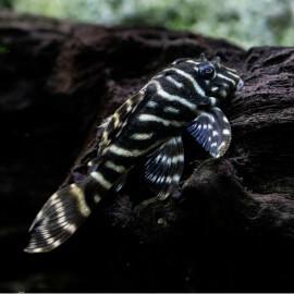 Hypancistrus debillittera L129 - Colombian zebra M-L  (Colombie)