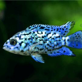 Cichlasoma octofasciatum Blue jack dempsey