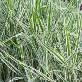 Phalaris arundinacea 'Picta' POT DE 9cm