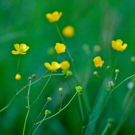Ranunculus flammula - Renoncule de berge POT DE 9cm