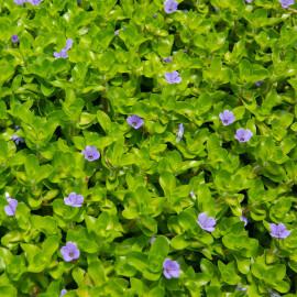 Bacopa caroliniana PANIER PLANTATION 11X11CM
