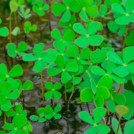 Marsilea quadrifolia - Trèfle d'eau à 4 feuilles PANIER PLANTATION 11X11CM