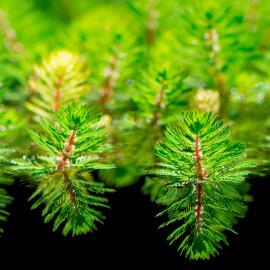 Myriophyllum red stem PANIER PLANTATION 11X11CM
