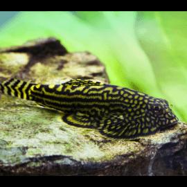 sewellia lineolata - Loche léopard  (Elevage)