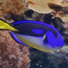 Paracanthurus hepatus Yellow belly - Chirurgien bleu à ventre jaune M