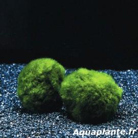 Chladophora XL