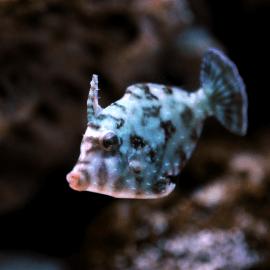 Acreichthys tomentosus - Poisson-lime