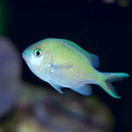 Chromis viridis - Demoiselle Bleu-vert M