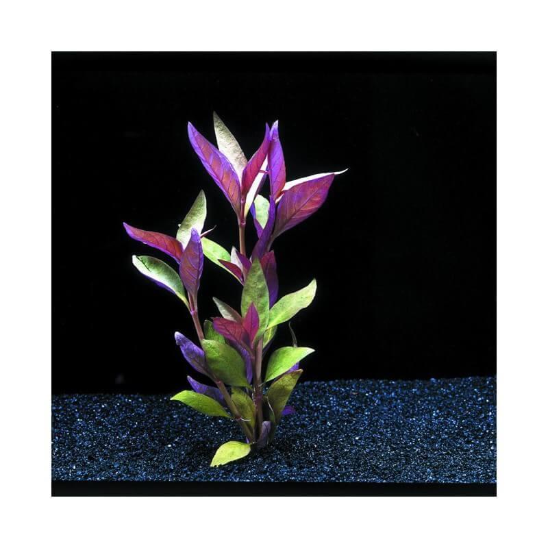 plantes d 39 aquarium color es alternanthera lilacina pour. Black Bedroom Furniture Sets. Home Design Ideas
