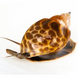 Babylonia spirata - Escargot léopard M-L