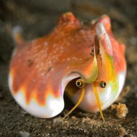 Strombus luhuanus - Escargot détritivore/mangeur d'algues M-L