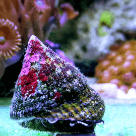 Trochus sp. - Escargot mangeur d'algues M-L