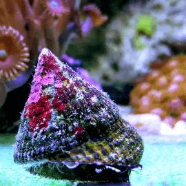 Trochus/Tectus sp. - Escargot mangeur d'algues M-L