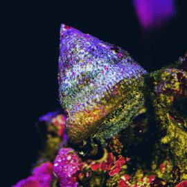 Trochus sp. - Escargot mangeur d'algues XL
