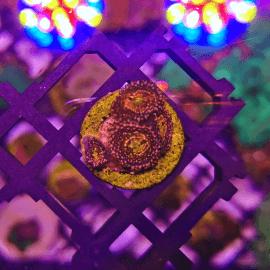 Zoanthus sp. Utter Peace N°15