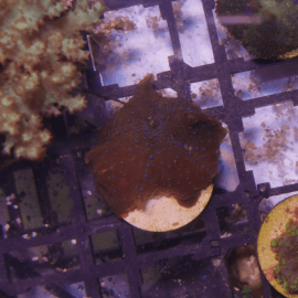 Discosoma sp. Blue spotted red N°16