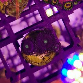 Zoanthus sp. Purple Green Mouth N°21