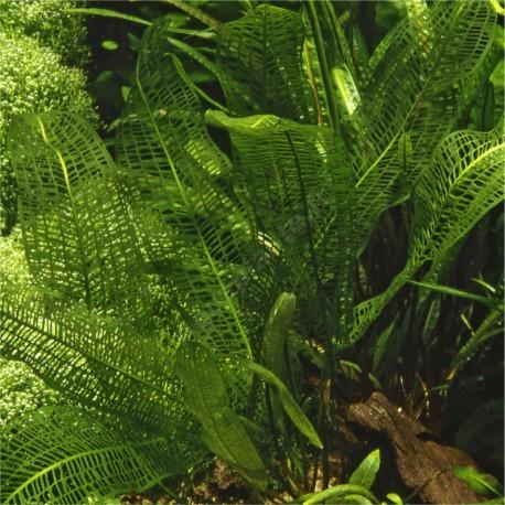 Aponogeton Madagascariensis en pot