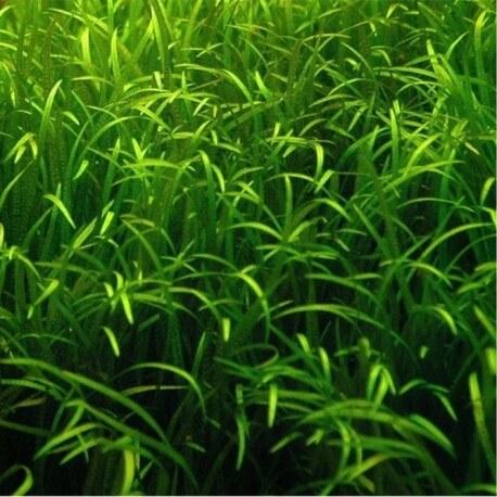Blyxa Japonica Premium